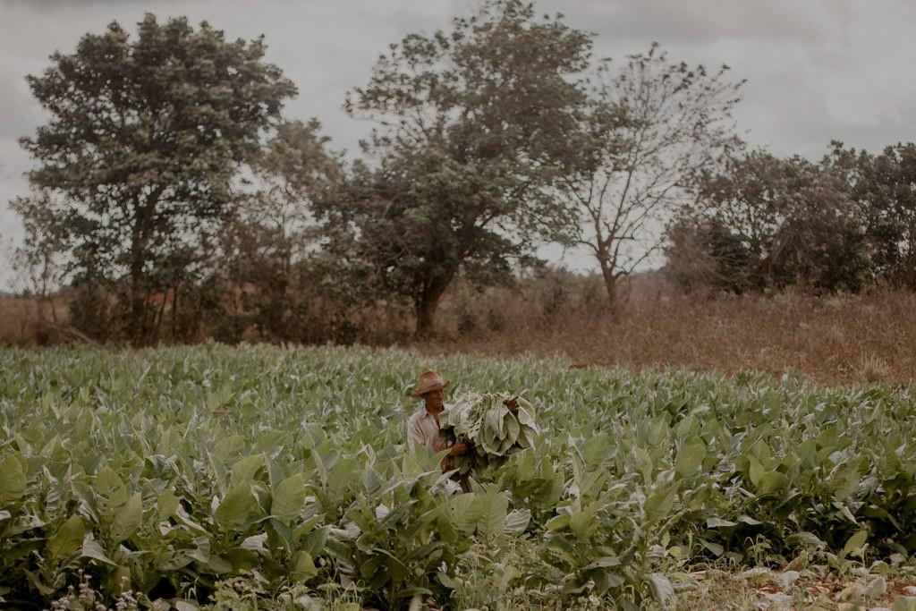 Zdjęcia: Plantacje tytoniu, Dolina Vinales, Zbiory tytoniu, KUBA