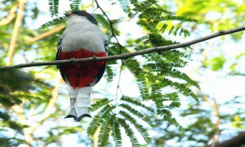 KUBA / Półwysep Zapata / okolice Sopillar / Flagowy ptak Kuby