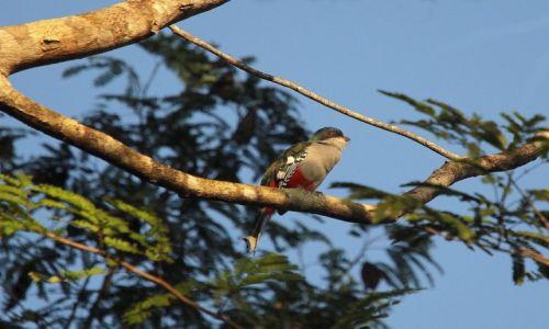 Zdjęcie KUBA / półwysep Zapata / Sopillar / Cuban trogon