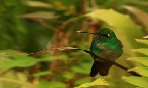 Zdjecie KUBA / okolice Baracoa / park Humboldta / Wkurzona pani zunzun - dla Swifta
