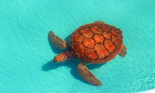 Zdjęcie KUBA / Cayo Largo / Wyspa Cayo Largo / Żółw