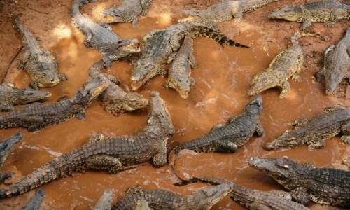 Zdjęcie KUBA / xxx / półwysep Zapata / Stado krokodyli