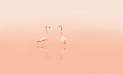 Zdjęcie KUBA / Cayo Guillermo / Cayo Guillermo / Flamingi