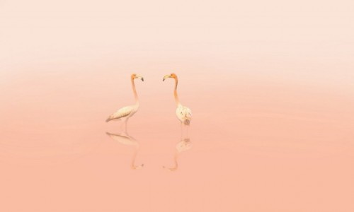 KUBA / Cayo Guillermo / Cayo Guillermo / Flamingi