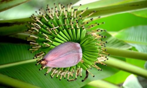 Zdjecie KUBA / xxx / Gdzieś na Kubie / Kwiat banana