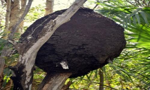 Zdjecie KUBA / xxx / Varadero / Kopiec termitów