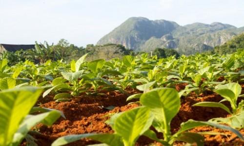 Zdjecie KUBA / Prowincja Pinar del Rio / Vinales / Uprawa tytoniu