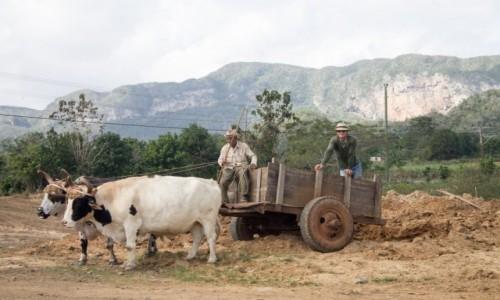 Zdjecie KUBA / Prowincja Pinar del Rio / Vinales / Praca na roli