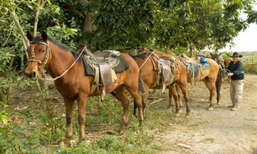 Zdjecie KUBA / Prowincja Pinar del Rio / Vinales / Konie gotowe