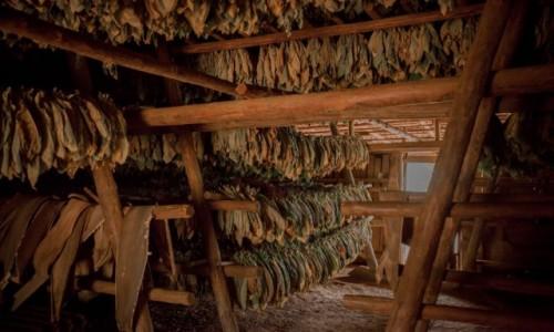 Zdjęcie KUBA / Dolina Vinales / Plantacje tytoniu / Suszenie tytoniu