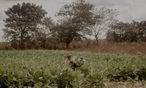 Zdjęcie KUBA / Dolina Vinales / Plantacje tytoniu / Zbiory tytoniu