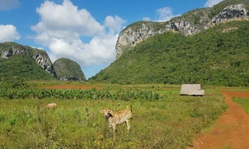 Zdjęcie KUBA / Dolina Viñales / - / Ciekawskie cielę