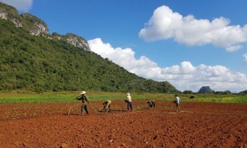 Zdjecie KUBA / Pinar del Rio / dolina Viñales / Będą cygara