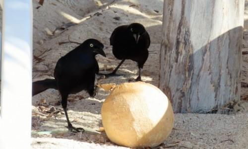 Zdjęcie KUBA / Sancti Spíritus / Trynidad / Może i dla nas coś zostało (wilgowron czarny)
