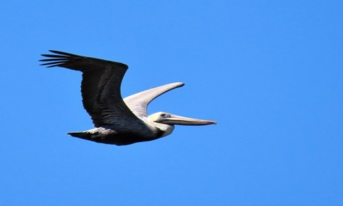 Zdjecie KUBA / Pinar del Rio / Vinales / Pelikan brunatny