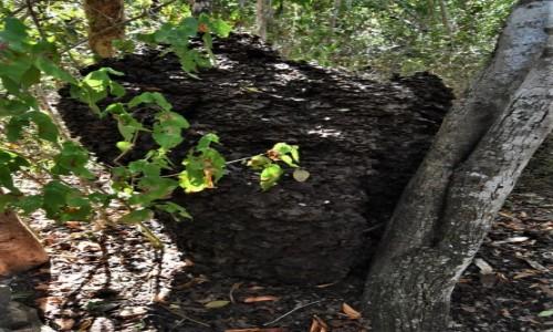 Zdjęcie KUBA / Półwysep Varadero / Varadero / Półwysep Varadero, kopiec termitów