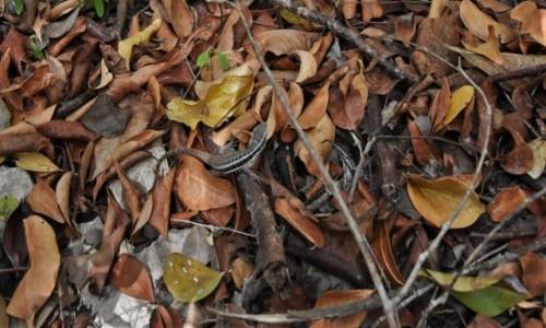Zdjęcie KUBA / Półwysep Varadero / Varadero / Półwysep Varadero, jaszczurka