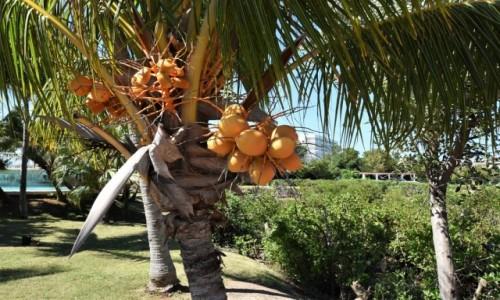 Zdjecie KUBA / Prowincja Matanzas / Varadero / Półwysep Varadero, kokosy