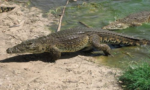 Zdjęcie KUBA / Zapada / Kuba / krokodyl