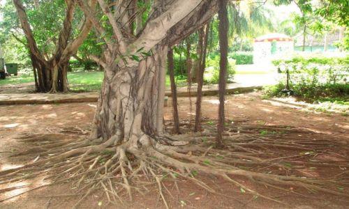 Zdjecie KUBA / Varadero / Kuba / drzewo