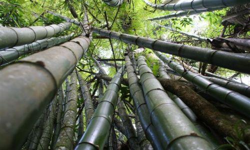 Zdjecie KUBA / Guanajara / Guanajara Park / Bambusy