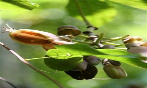 Zdjecie KUBA / Kuba / Kuba / tropikalna roślina