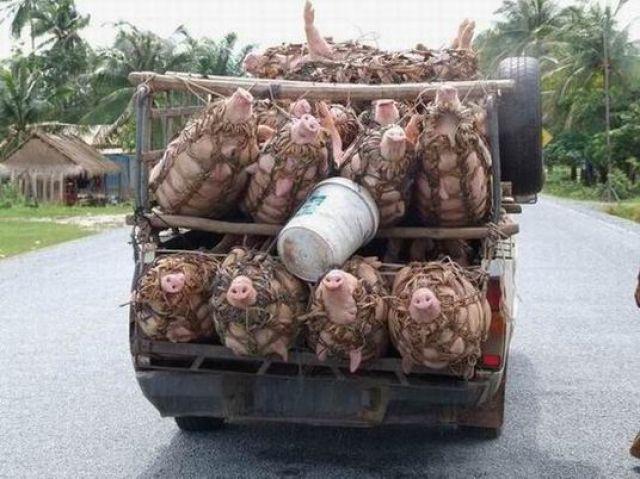 Zdj�cia: laos, transport �ywych �wi�, LAOS