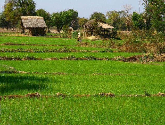 Zdjęcia: Si Pha Don, Pola ryżowe, LAOS