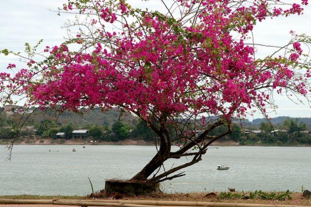 Zdjęcia: Don Kong, Drzewo z widokiem na Mekong, LAOS