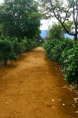 Zdj�cia: P�askowy� Bolaven, Plantacja kawy i herbaty, LAOS