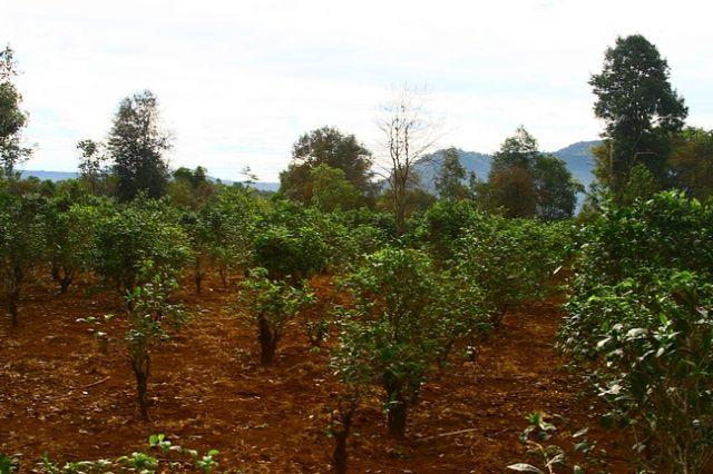 Zdjęcia: Płaskowyż Bolaven, Plantacja kawy i herbaty2, LAOS