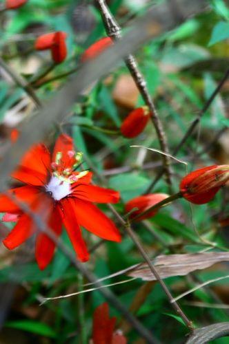 Zdjęcia: Płaskowyż Bolaven, Ten kwiatek tez mi sie spodobal, LAOS