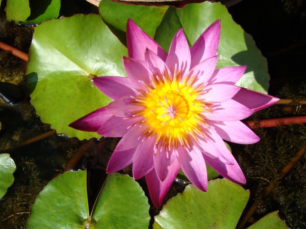 Zdjęcia: sadzawka przyklasztorna, gdzieś po drodze, Do kwiatowej kolekcji - Lotos, LAOS
