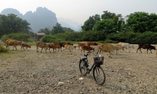 LAOS / prowincja Wientian / Van Vieng / krowy przodem