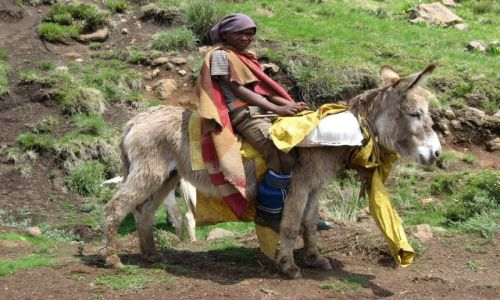 LESOTHO / zachodnie Lesotho / w drodze do Semonkong / wypas