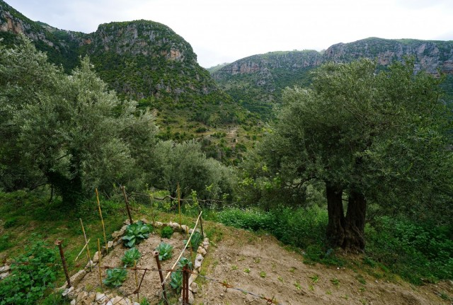 Zdjęcia: Dolina Kadisha, Liban Północny , Na tarasie oliwki i warzywniak uprawiany przez mnichów, LIBAN