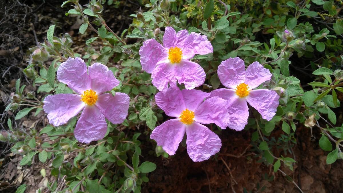Zdjęcia: Dolina Kadisha, Bszarri, Kwiaty Psiej Róży, LIBAN