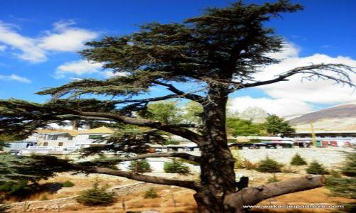 Zdjęcie LIBAN / Dolina Kadisza / rezerwat Cedrów / Ostatnie cedry w Libanie