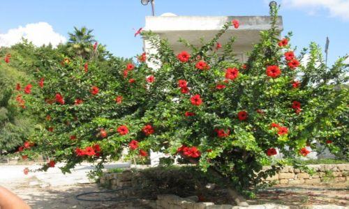 Zdjęcie LIBAN / - / region Byblos / Kwiatki...