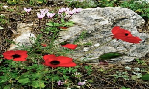 Zdjęcie LIBAN /  Liban Północny /  Dolina Kadisha / Anemony i fiołki
