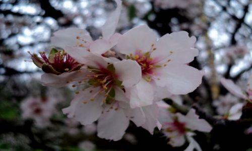 Zdjecie LIBAN / Lb / Liban / Kwiat migdalowca