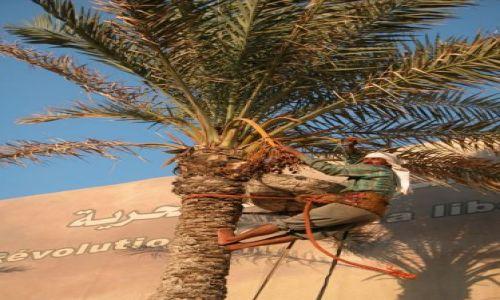 Zdjęcie LIBIA / brak / Trypolis / Zbiórka bananów