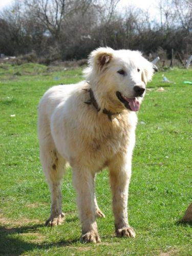 Zdjęcia: Macedonia - pies pasterski, Macedonia - pies pasterski, MACEDONIA