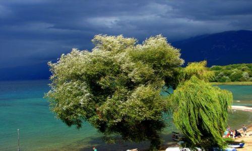 Zdjecie MACEDONIA / Jezioro Ochrydzkie  / wybrzeże Jeziora Ochrydzkiego przy granicy z Albanią  / Drzewo -KONKURS