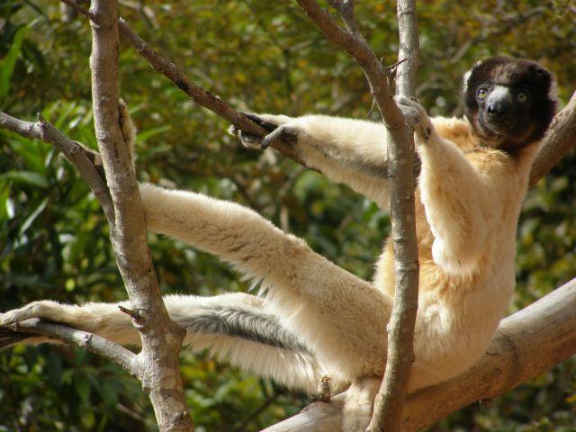 Zdjęcia: 25 km od stolicy, Antananarivo, LEMURY - Bo lemurów nigdy nie za mało , MADAGASKAR