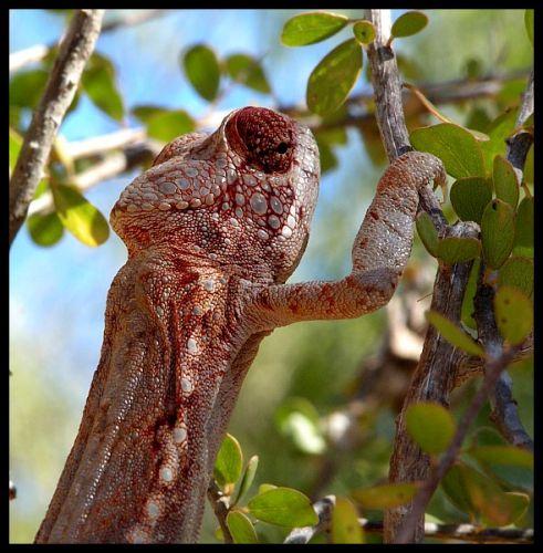 Zdjęcia: Antsokay k/Toliara, Toliara, Kameleon, MADAGASKAR