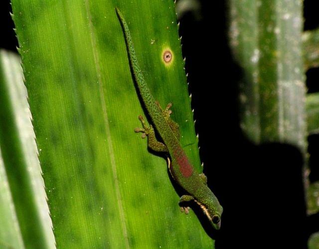 Zdjęcia: rezerwat Perinet, Toamasina, Phelsuma lineata, , MADAGASKAR