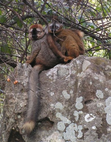 Zdjęcia: P. N. Isalo, Fianarantsoa, Lemur rudy (<I>Eulemur fulvus rufus</I>) samiec i samica, MADAGASKAR