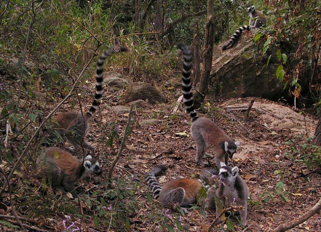 Zdjęcia: P. N. Isalo, Fianarantsoa, Żerujące lemury katta, MADAGASKAR