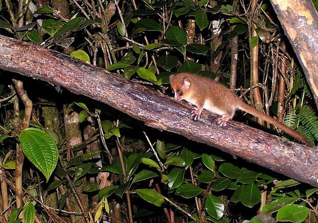 Zdjęcia: P. N. Ranomafana, Fianarantsoa, Lemur mysi (<I>Microcebus rufus</I>), MADAGASKAR
